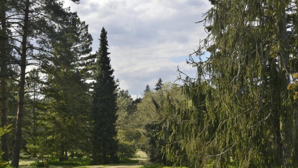 Les Clairières des Conifères avec, au centre, l'étroite silhouette d'un Épicéa de Serbie, Picea omorika, et à droite, une variété horticole de l'Épicéa commun, Picea abies 'Cranstonii' © MNHN - S. Gerbault