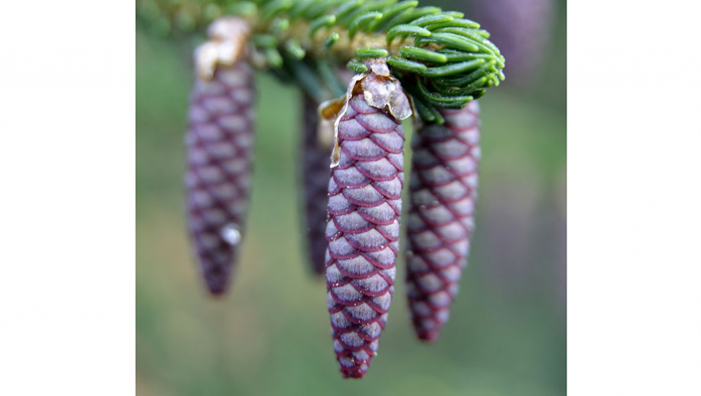 Jeunes cônes d'Épicéa d'Orient (Picea orientalis) © MNHN - S. Gerbault