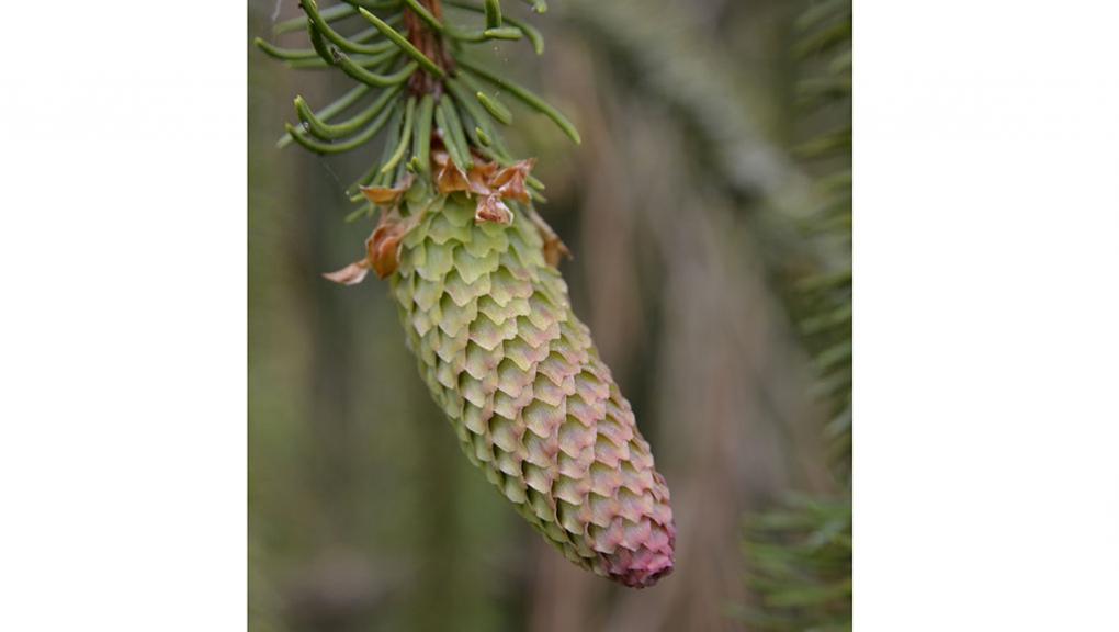 Jeune cône d'Épicéa commun (Picea abies) 'Cranstonii' © MNHN - S. Gerbault