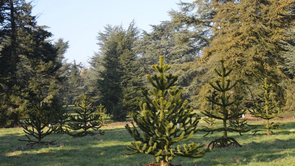 Plantation conservatoire de jeunes Araucarias du Chili, Araucaria araucana, dans les Clairières des Conifères © MNHN - S. Gerbault