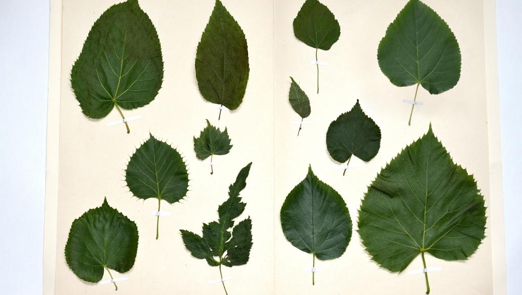 Diversité des feuilles de tilleuls selon les espèces et variétés © MNHN - S. Gerbault