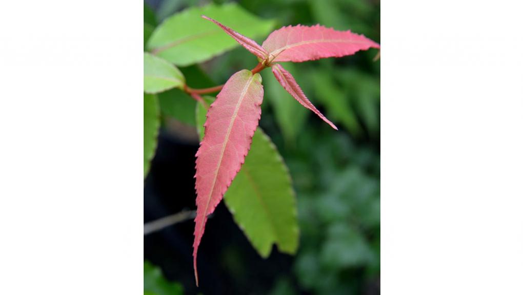 Jeune pousse d'Acer laevigatum, un érable du sud-est de l'Asie © MNHN - S. Gerbault