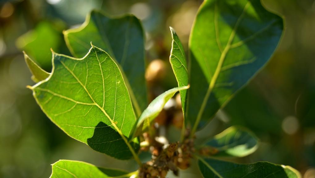 Chêne du Maryland, Quercus marilandica © MNHN - S. Gerbault