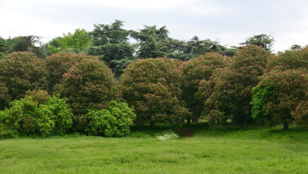 Alignement de marronniers à fleurs rouges autour de l'ancien réservoir © MNHN