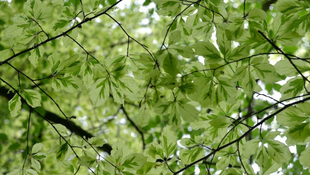 Hêtre commun panaché, Fagus sylvatica 'Albovariegata', Bois de l'ancienne Pépinière © MNHN - S. Gerbault
