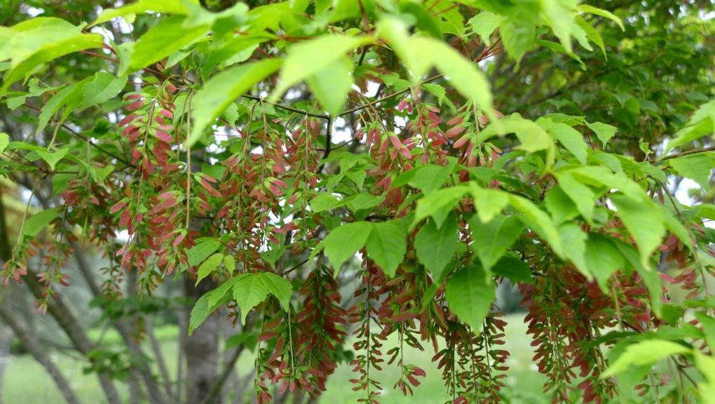 Jeunes fruits d'Erable à feuilles de vigne, Acer cissifolium © MNHN - S. Gerbault