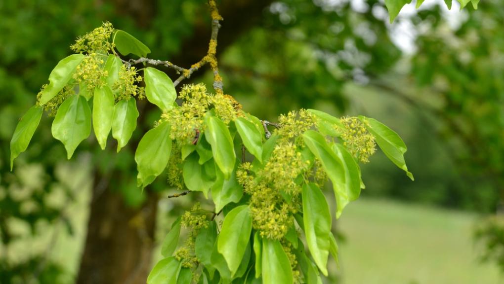 Floraison d'Acer buergerianum, un érable chinois © MNHN - S. Gerbault