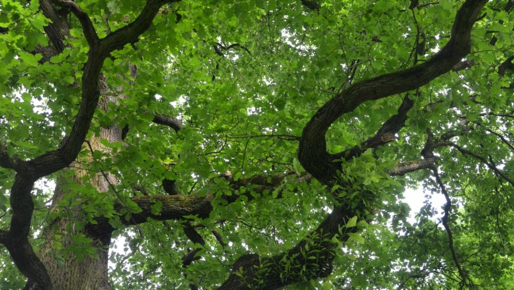 Chêne sessile (Quercus petraea) centenaire à la Butte aux Chênes  © MNHN - S. Gerbault