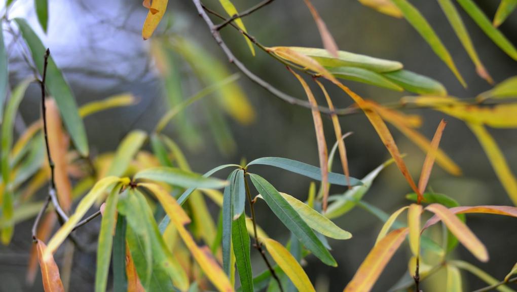 Chêne à feuilles de saule, Quercus phellos © MNHN - S. Gerbault