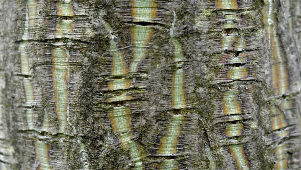 """Ecorce d'un érable """"peau de serpent"""", Acer capillipes © MNHN - S. Gerbault"""