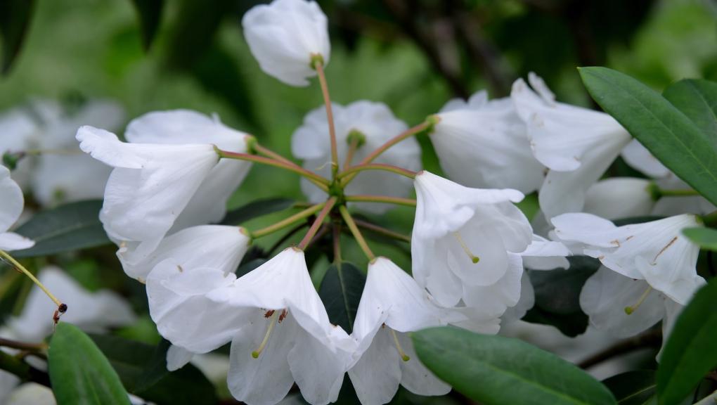 Fleurs de rhododendron (Rhododendron wardii var. puralbum) © MNHN - S. Gerbault