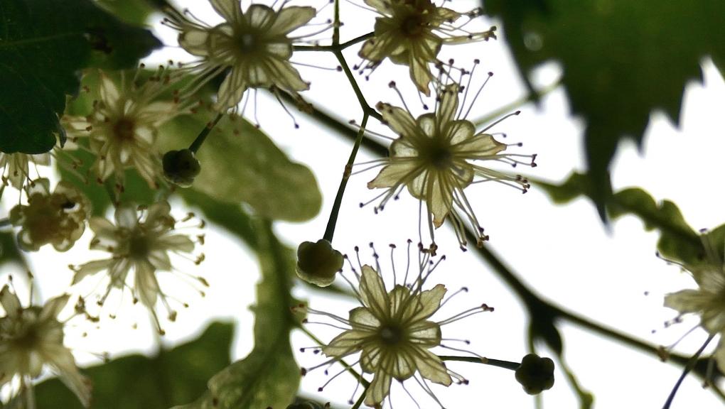 Fleurs de Tilleul à grandes feuilles laciniées, Tilia platyphyllos 'Laciniata' © MNHN - S. Gerbault