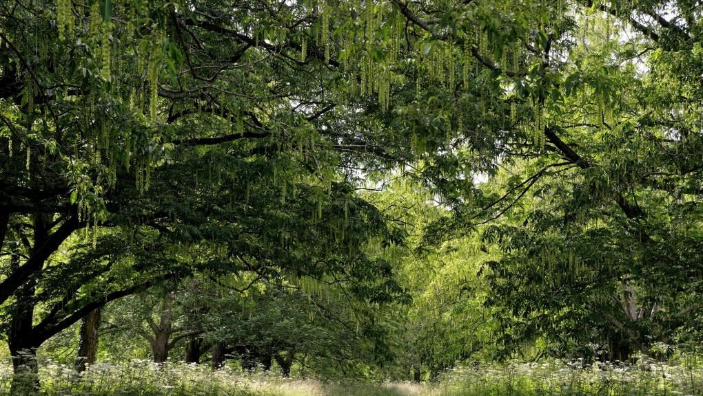 Vue de l'Arboretum de Chèvreloup (allée de Ptérocaryers du Caucase) © MNHN - S. Gerbault
