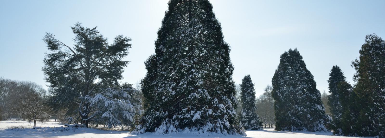 Séquoias géants (Sequoiadendron giganteum) © MNHN - S. Gerbault