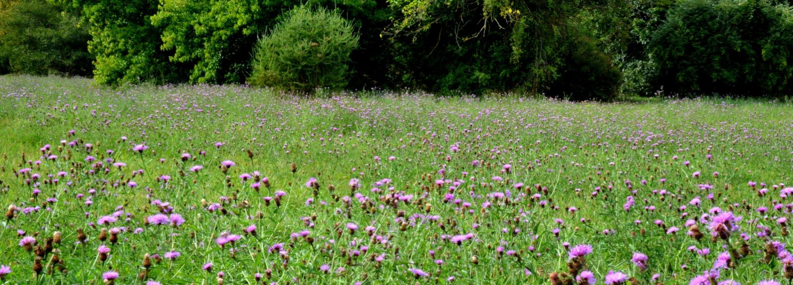 Prairie de la zone horticole fleurie de centaurées en septembre © MNHN - S. Gerbault
