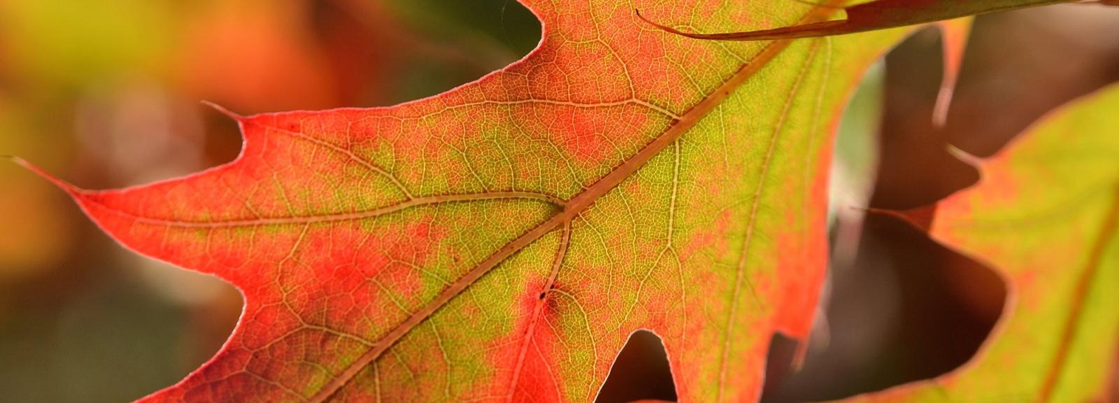 Feuille de chêne Quercus rubra © MNHN - S. Gerbault
