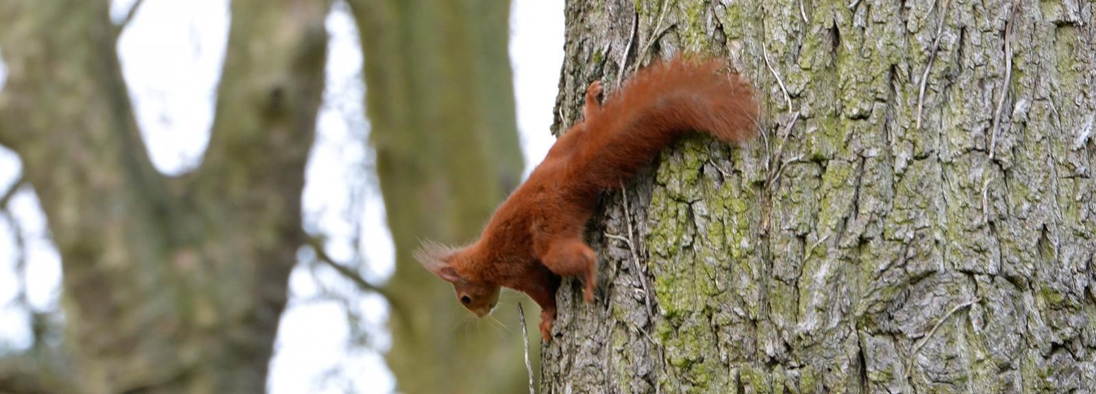 Écureuil roux à l'Arboretum de Versailles-Chèvreloup © MNHN - S. Gerbault