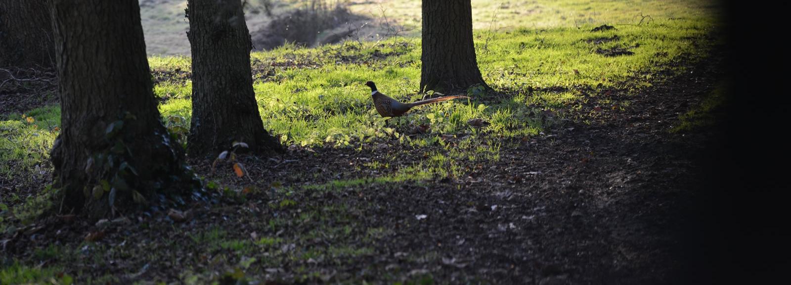 Faisan de Colchide à l'Arboretum de Versailles-Chèvreloup © MNHN - S. Gerbault