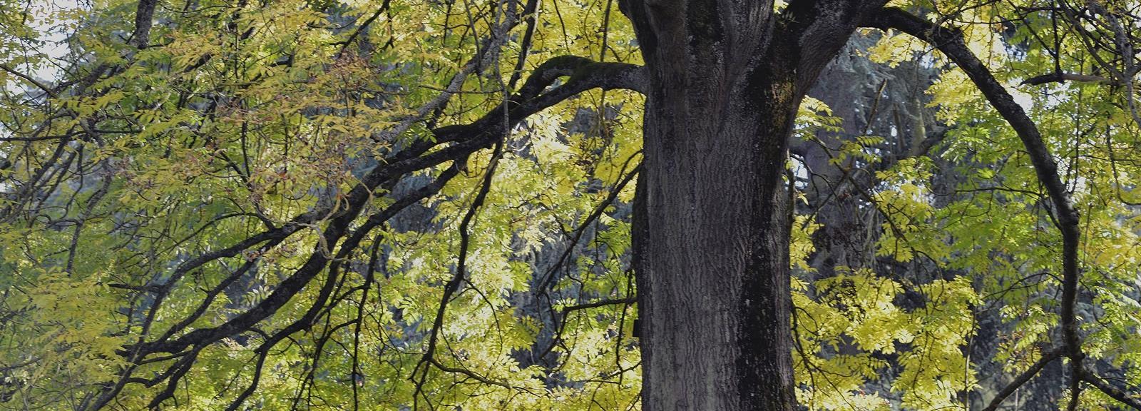 Frêne élevé (Fraxinus excelsior) centenaire à la Butte aux Chênes © MNHN - S. Gerbault