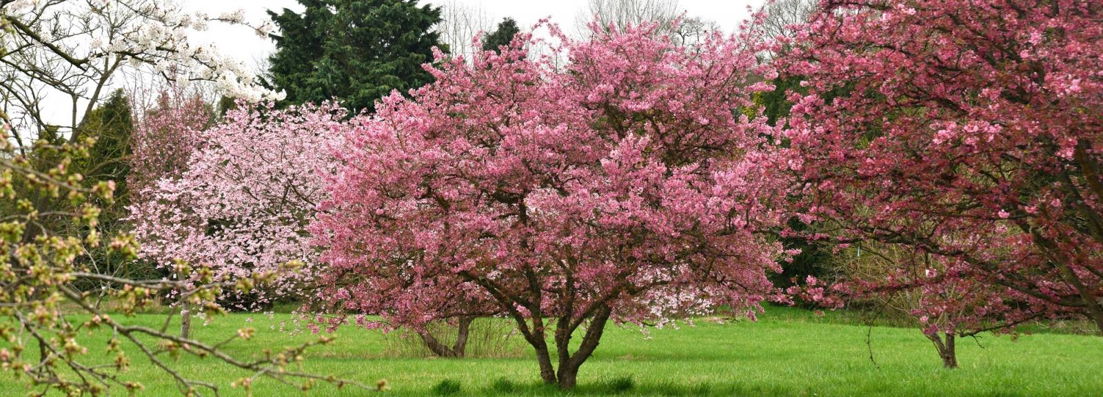La prairie des cerisiers japonais en avril © MNHN - S. Gerbault