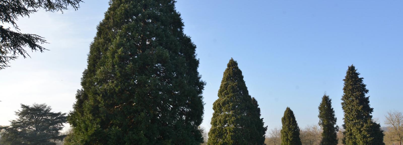 Séquoias géants (Séquoiadendron giganteum) © MNHN - S. Gerbault