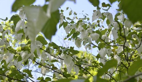 Arbre aux mouchoirs, Davidia involucrata, Bois de l'ancienne Pépinière © MNHN - S. Gerbault