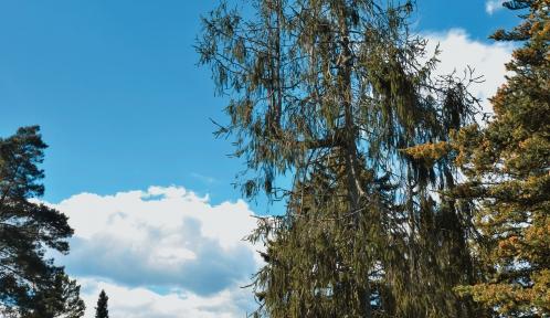 Épicéas dans les Clairières des Conifères © MNHN - S. Gerbault
