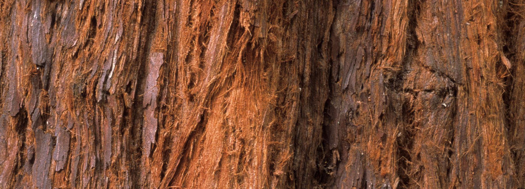 Détail de l'écorce de Séquoias géants (Sequoiadendron giganteum) © MNHN