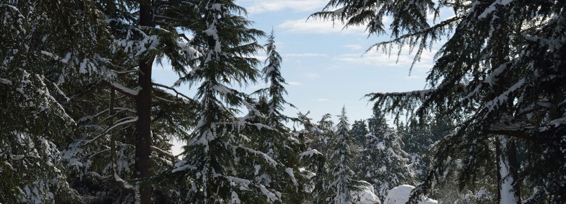 Les Clairières des Conifères enneigées à l'Arboretum © MNHN