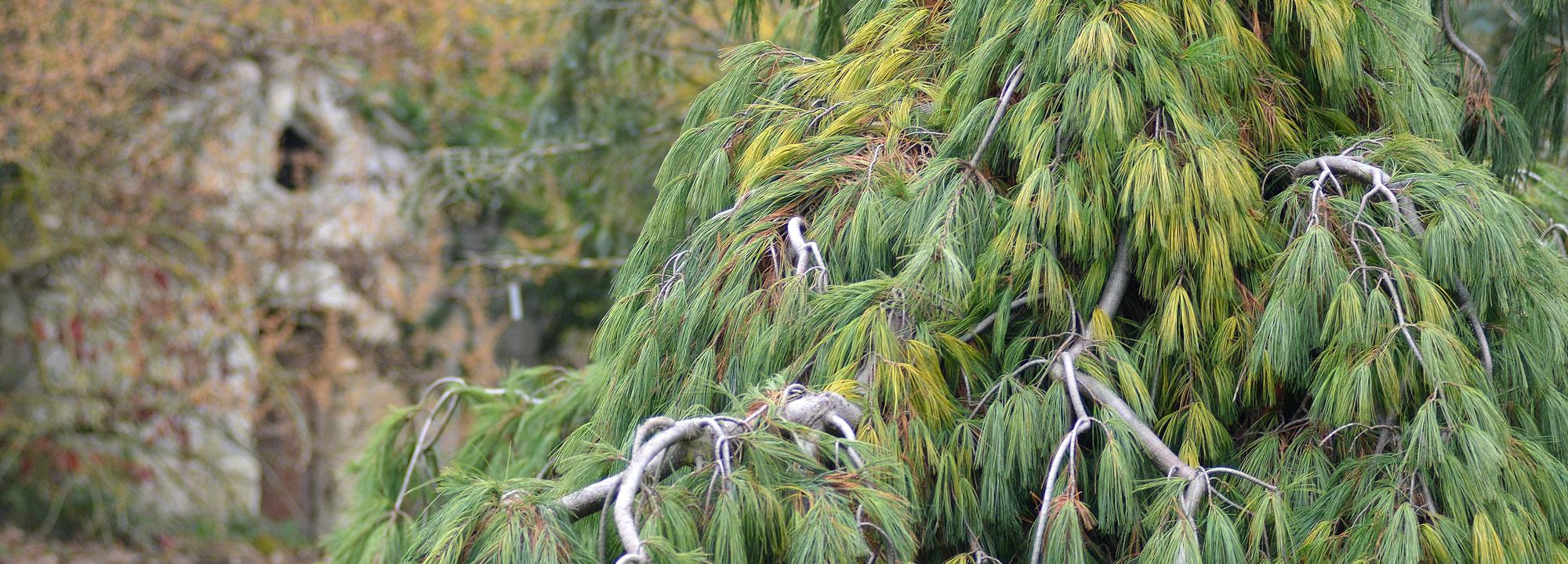 Pavillon de la source en arrière plan de pinus strobus pendula © MNHN - S. Gerbault