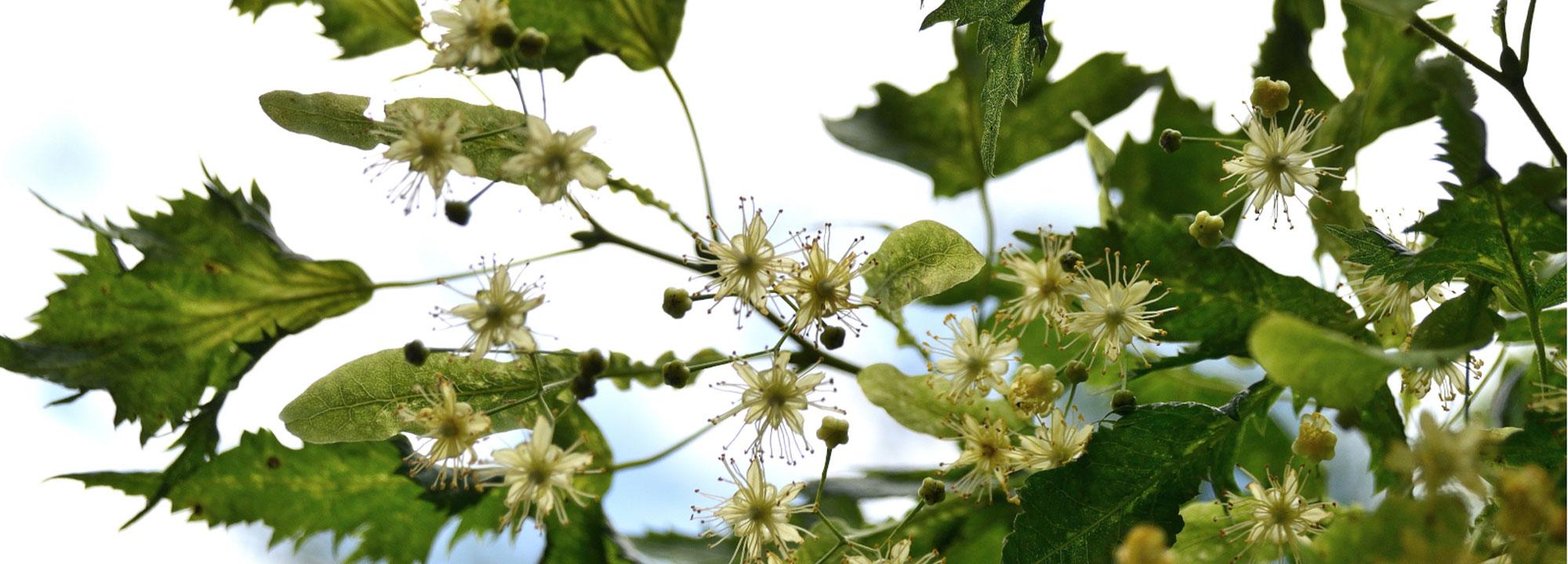 Tilleul à grandes feuilles laciniées, Tilia platyphyllos 'Laciniata' © MNHN - S. Gerbault