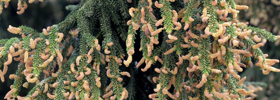 Cônes mâles d'Épicéa d'Orient (Picea orientalis) © MNHN - S. Gerbault