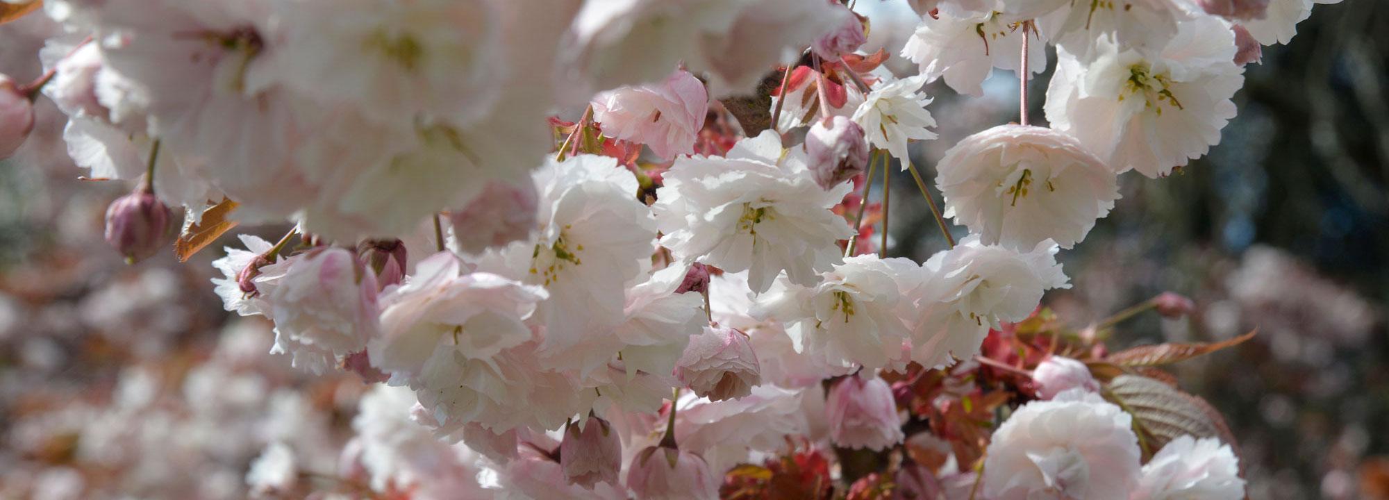 Floraison d'un cerisier japonais, Prunus 'Shirofugen', en avril © MNHN - S. Gerbault
